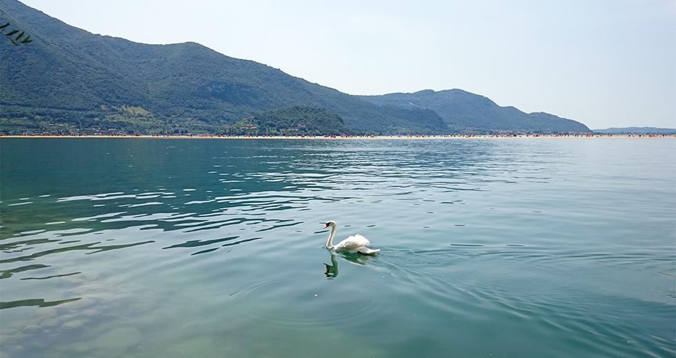 Лебед в езеро Изео