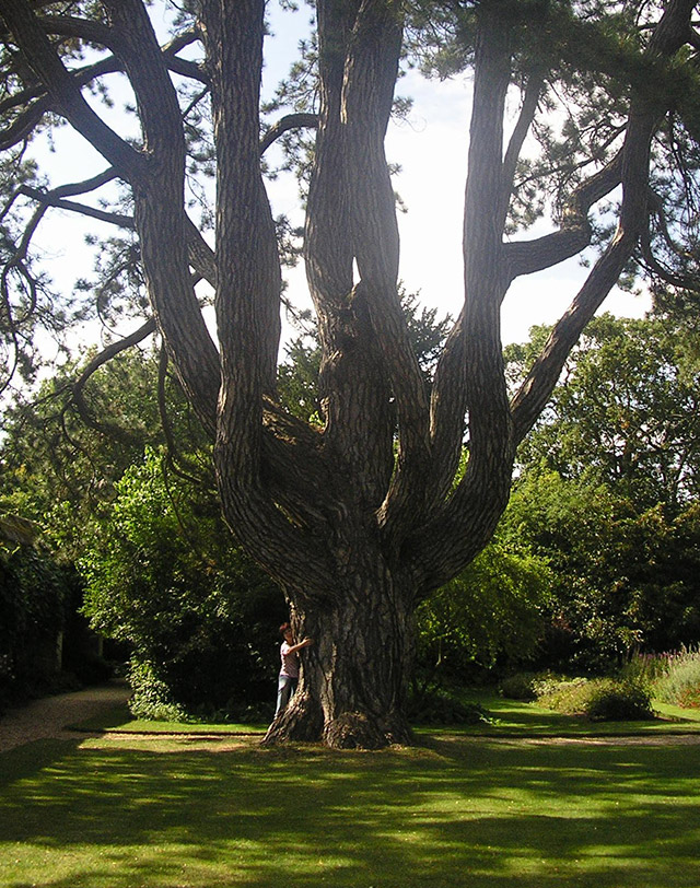 Опит да прегърна вековно дърво