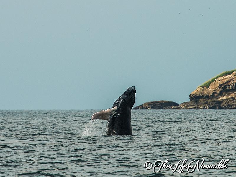 Скачащ кит на повърхността на океана