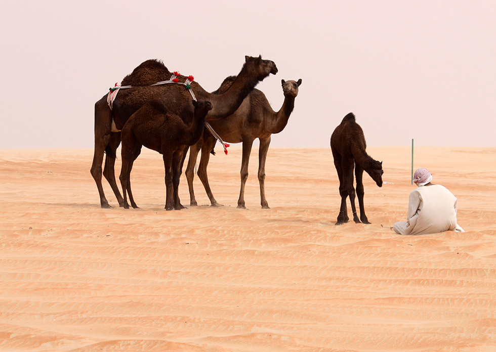 Камили в пустинята