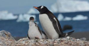 Антарктида семейство пингвини