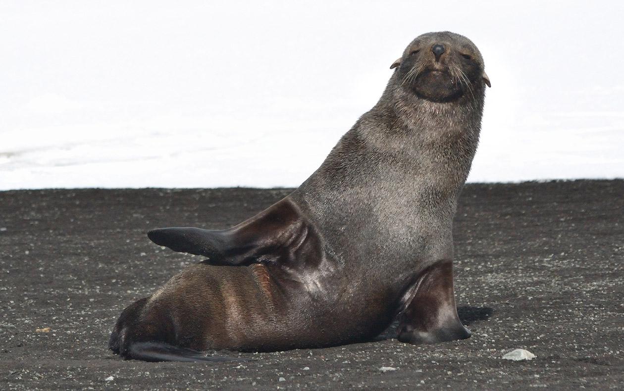 Тюлен в Антарктида