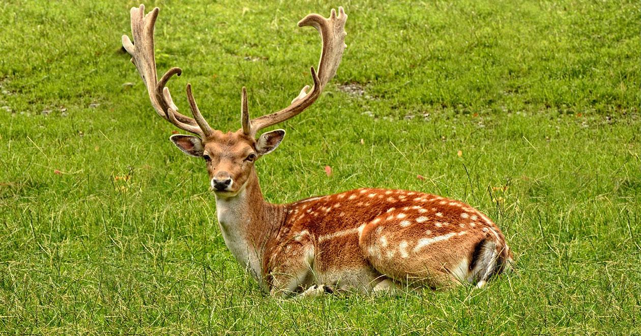 Благороден елен в източни родопи