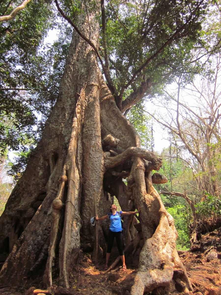 Гигантско дърво